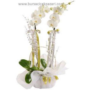 Orkide jumbo