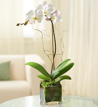 Orkidem cam vazoda